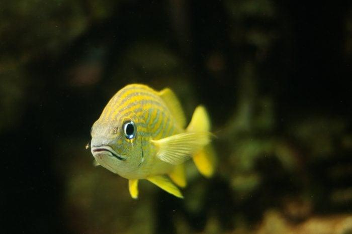 Yellow fish in the water, Paradise Island, Bahamas