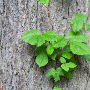 What Does Poison Ivy Look Like? How to Identify and Avoid It