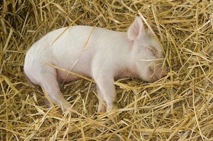 piglet (Sus scrofa domesticus) sleeping in straw