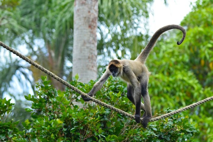 Spider monkey (Ateles geoffroyi) play on a rope. It live in tropical forests of Central and South America, from southern Mexico to Brazil. Spider monkey is endangered animal