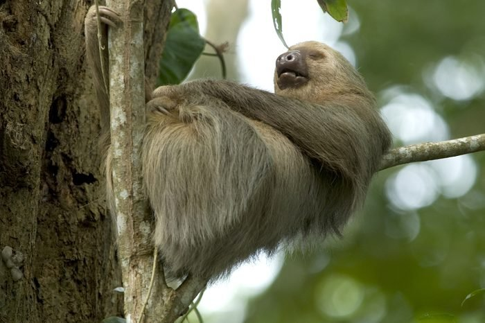 sleeping two toe sloth in tree, cahuita, costa rica, central america