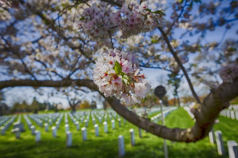 Cherry blossoms trees in Arlington cemetery. Pink flowers tree. Grave of unknown soldiers