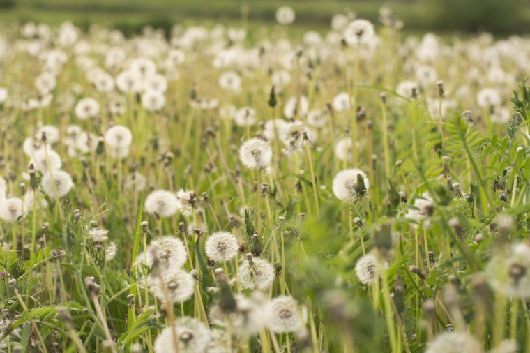Dandelion field, summer allergy