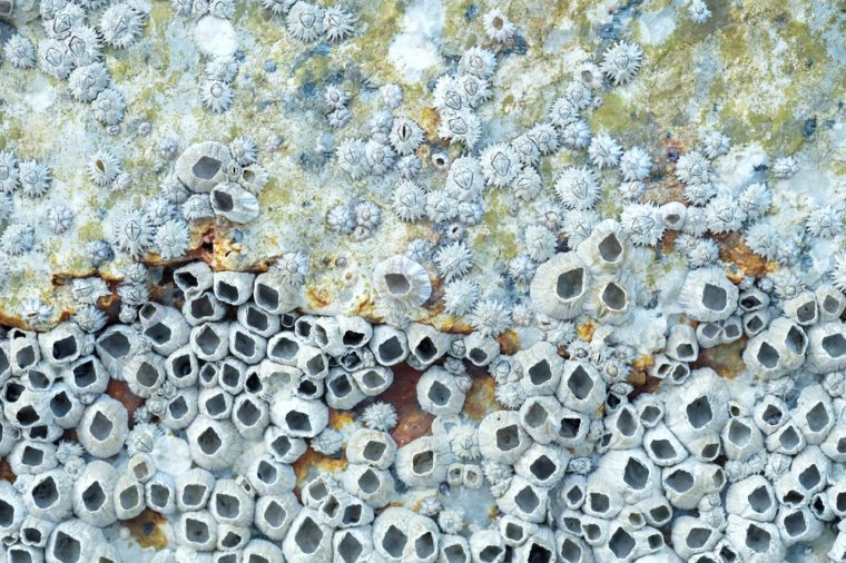 Close up shot of Dead Barnacles on a Rock