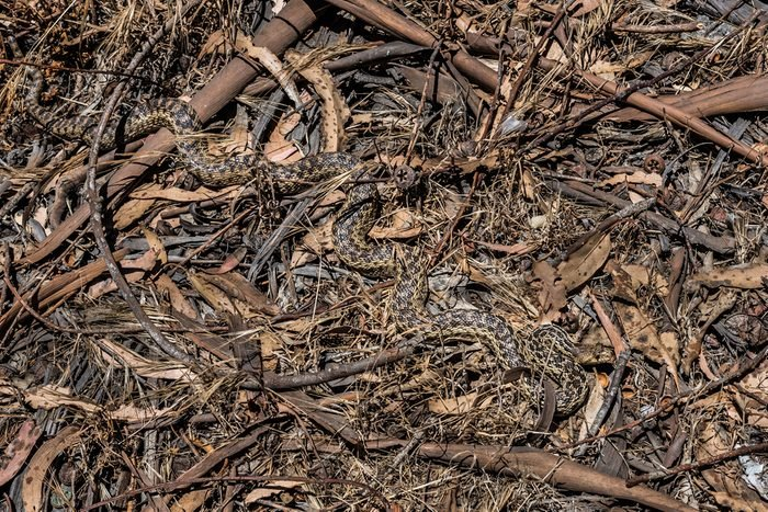 The natural camouflage of a Pacific Gopher Snake (Pituophis catenifer ) makes it almost invisible, as it slithers through the woods in the hills of Monterey, California.