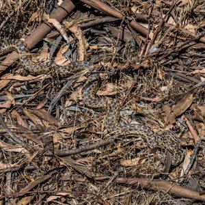 snake hiding on the forest floor
