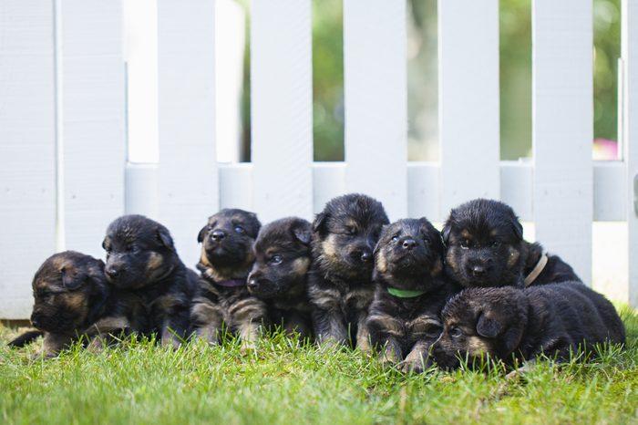 German shepherd puppies outside next fence