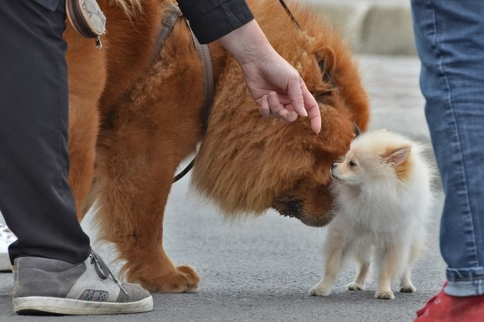 a chow-chow and a pekingese dog sniffing each other on the street