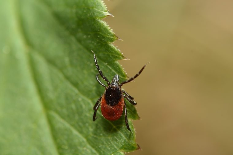 Female of the tick sitting on a leaf. A common European parasite attacking also humans.