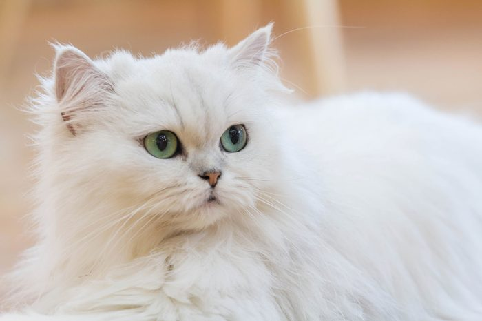 White Persian cats on the floor