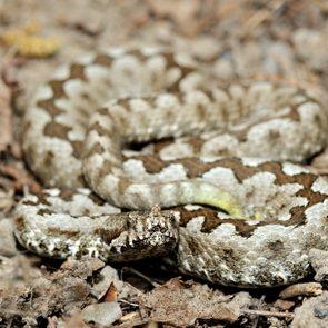 horned viper (vipera ammodytes)