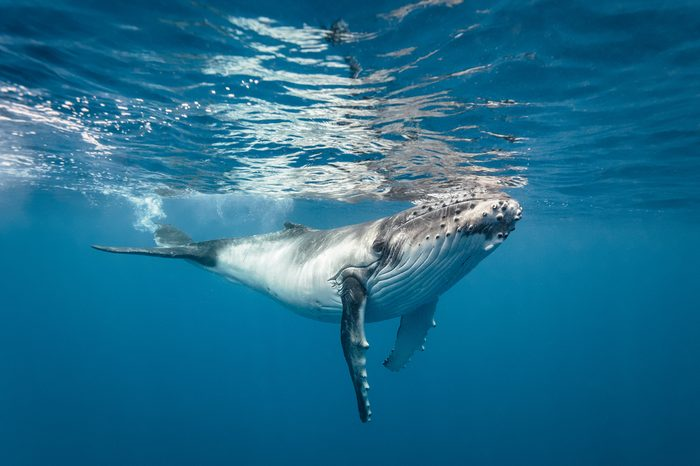 A baby humpback whale underwater swimming towards the camera in clear blue water