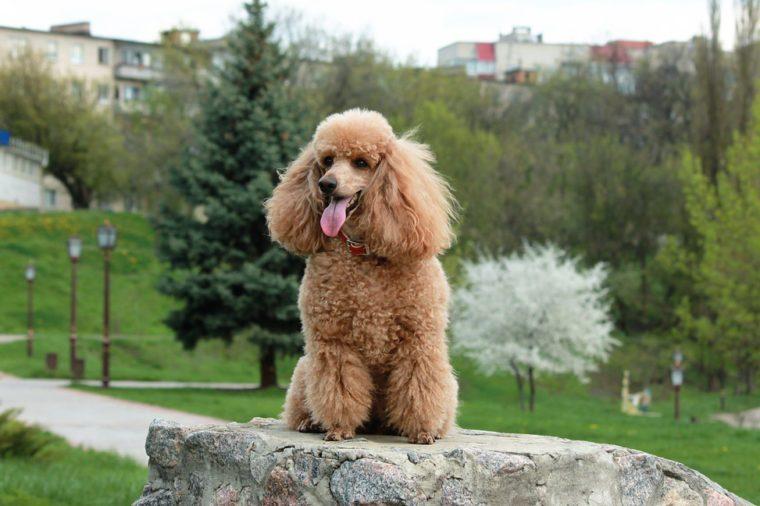 Brown poodle dog on rock