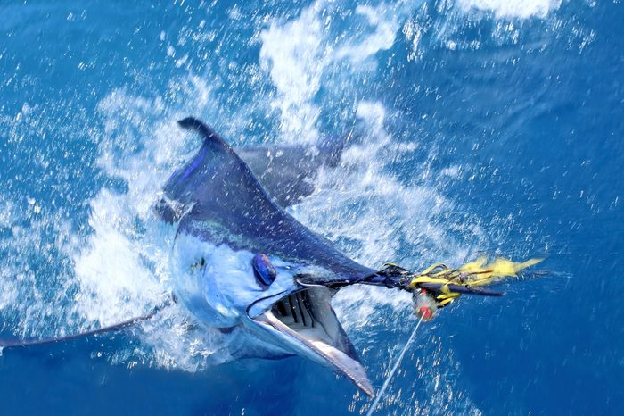 Big game fishing. Marlin on the hook