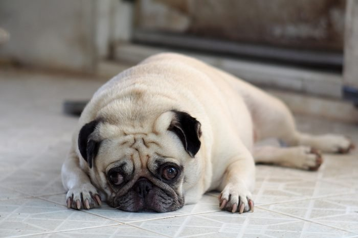portraits photo of a lovely white fat cute pug dog laying flat on home outdoor floor making sad and lonesome face under natural sunlight shallow depth of field, blur background