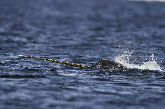 Male narwhal feeding on small bait fish on the surface, Admiralty Inlet, Baffin Island, Canada.