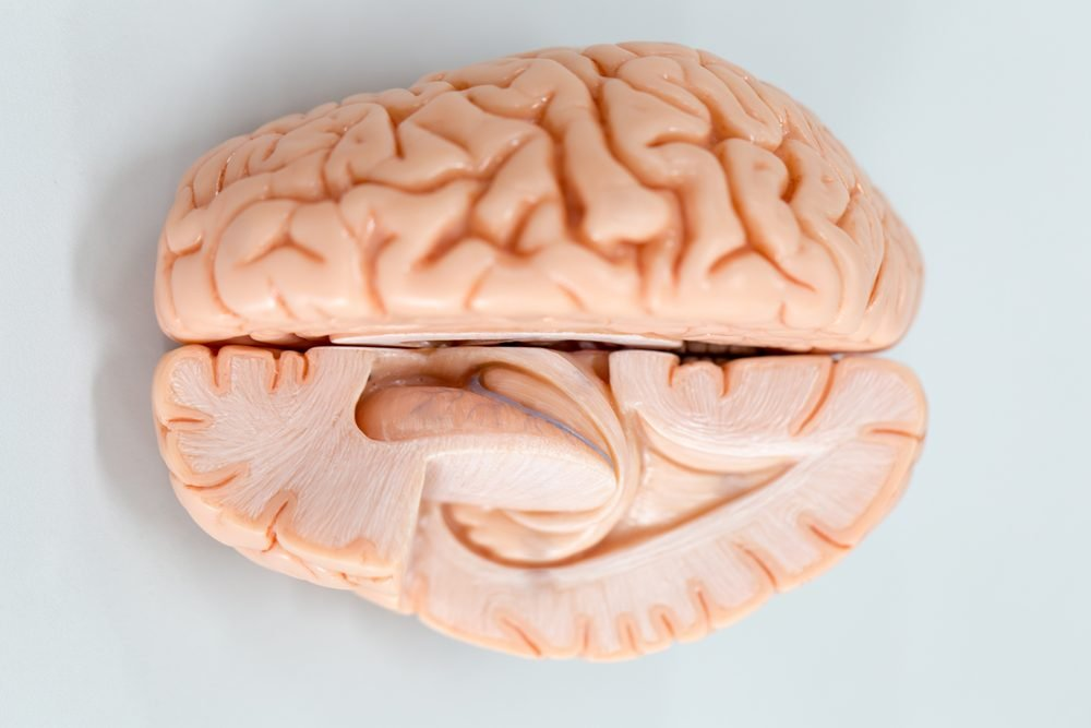 Human brain model for education in laboratory.