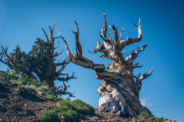 Methuselah - The oldest living Great Basin bristlecone pine ( Pinus longaeva) tree in the world. Bristlecone Pine Forest in the white mountains, eastern California, USA.