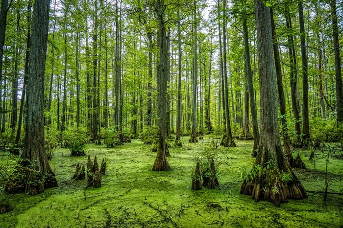 Cypress Swamp in Heron Pond in the Cache River Natural Area in Southern Illinois
