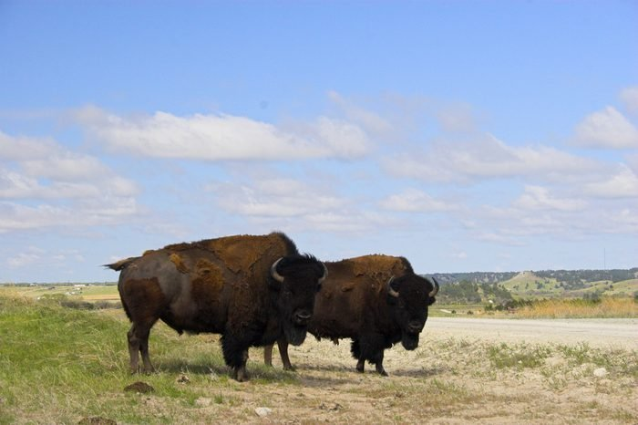 Two bison on a prairie in the Sandhills