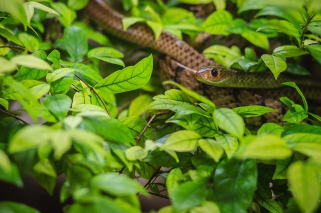 Cute Indochinese rat snake (Ptyas korros) is slithering on tree with green leaves background. Chinese ratsnake or Indo-Chinese rat snake, is a species of colubrid snake endemic to Southeast Asia.