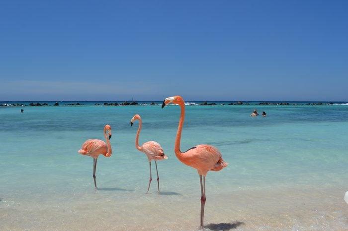 Flamingos, Renaissance Private Island, Aruba, Caribbean.