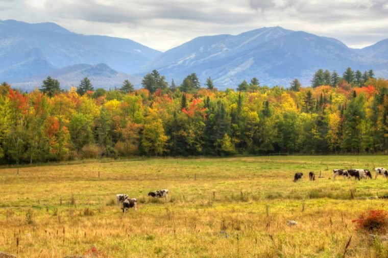 Cows enjoying a beautiful end of summer day with the early fall colors in Sugar Hill New Hampshire with Canon Mountain in the background.