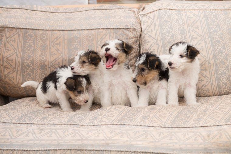 6 week old tricolor fox terrier puppy playing in the sofa
