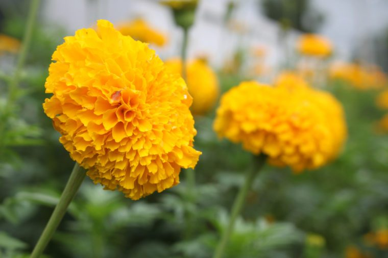 Yellow flower Marigolds (Tagetes erecta, Mexican marigold, Aztec marigold, African marigold) in the garden.