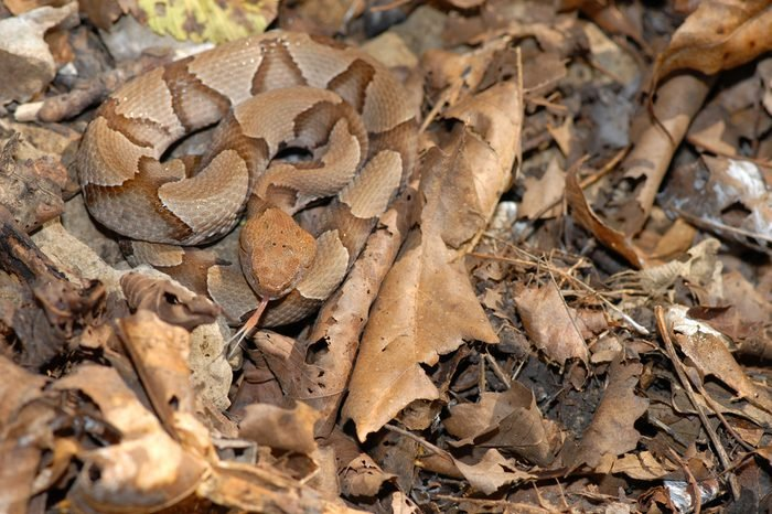 Young copperhead snakes can be difficult to see in the leaf litter.