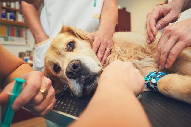 Golden retriever in the animal hospital. Veterinarians preparing the dog for surgery.