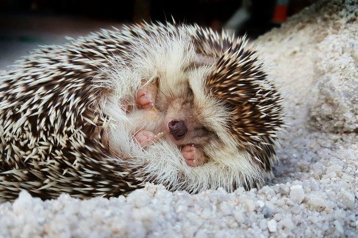 Hedgehog sleeps on sand.hedgehog sleeing