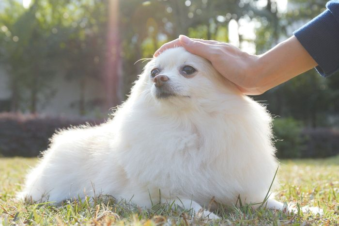 Woman touching on her Pomeranian dog in the park
