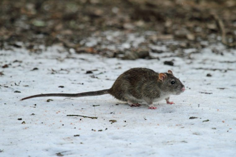 Brown or Norway Rat (Rattus norvegicus) - foraging in snow