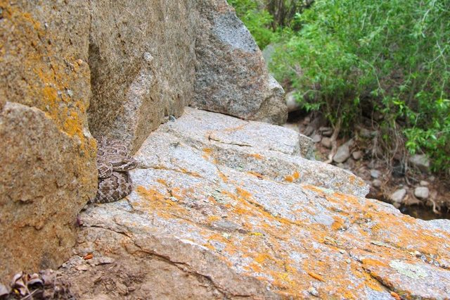 A danger to hikers and campers - a venomous snake, the Great Basin Rattlesnake, Crotalus oreganus lutosus, blending into its environment