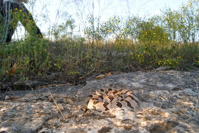 Dangerous snake hidden by camouflage along a path with people walking neaby - Timber Rattlesnake, Crotalus horridus