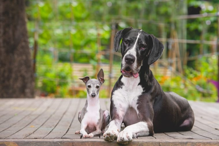 Great Dane and Italian Greyhound best friends