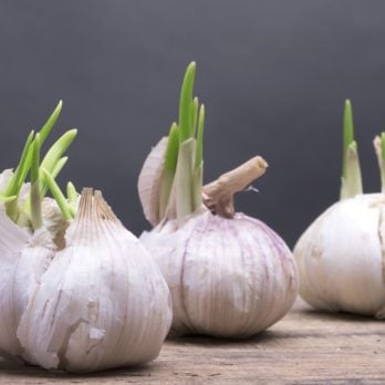 Will Cooking with Sprouted Garlic Ruin Your Recipe?