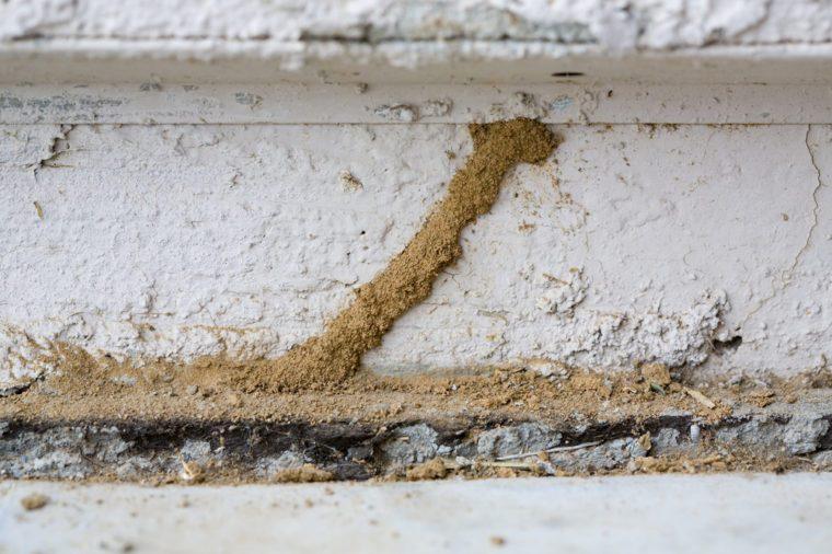 Mud Tunnel or Tube of Subterranean Termites
