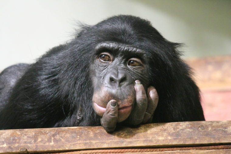 Chimp chimpanzee monkey ape sad (Pan troglodytes) great ape monkey common chimpanzee resting looking sad emotion hand to mouth