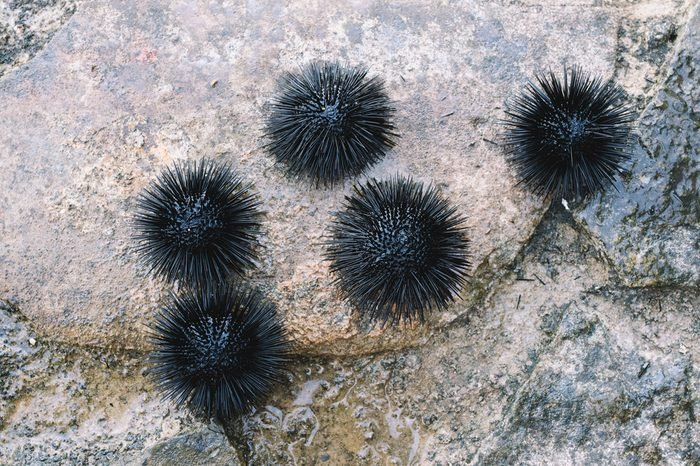 Sea urchins on a stone