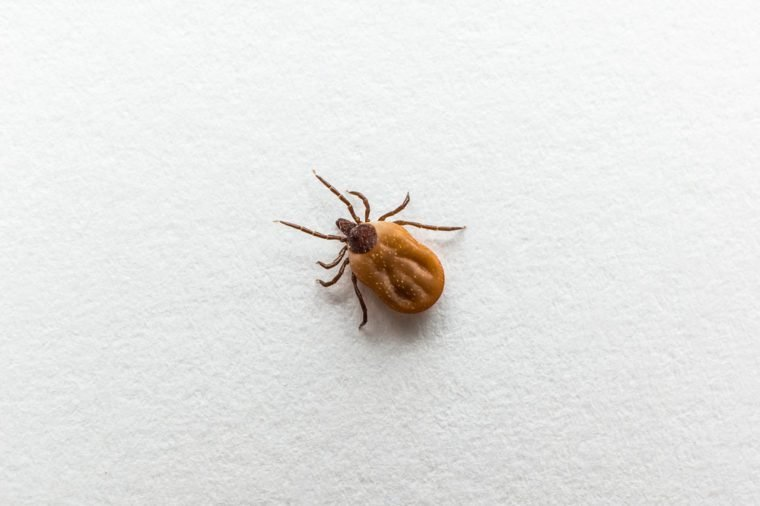 Close-up of tick filled with blood crawling on white paper