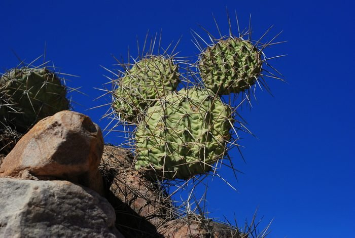 Cactus Mickey Mouse