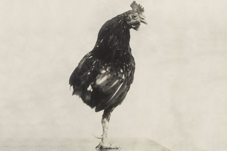 One Legged Rooster