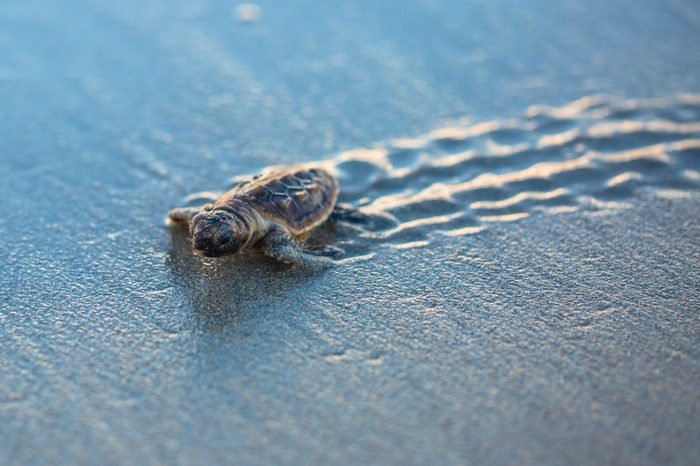 Baby Sea Turtle Tracks at Sunrise