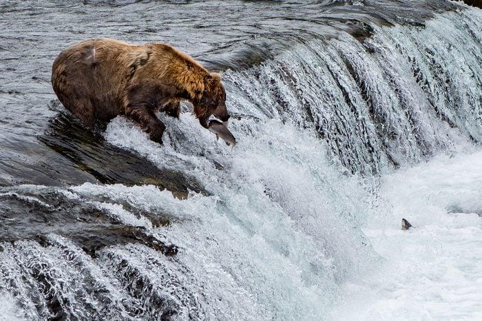 Bear catching fish