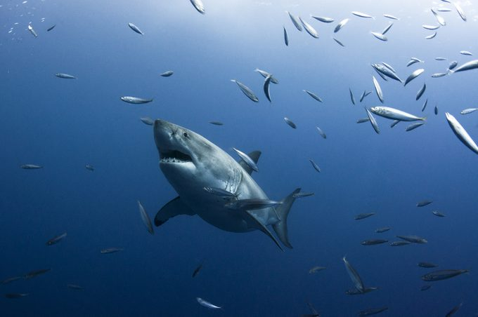 A Great White Shark Surrounded by Small Fish