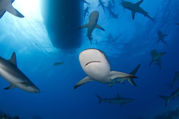 Caribbean Reef Sharks Under the Boat