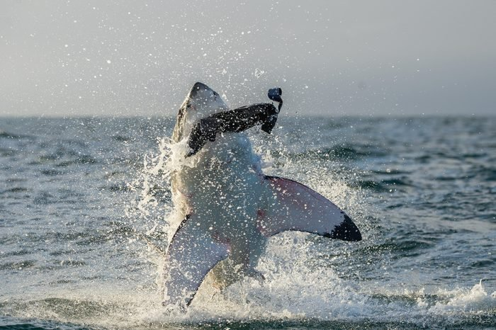 Great White Shark (Carcharodon carcharias) breaching in an attack. Hunting of a Great White Shark (Carcharodon carcharias). South Africa