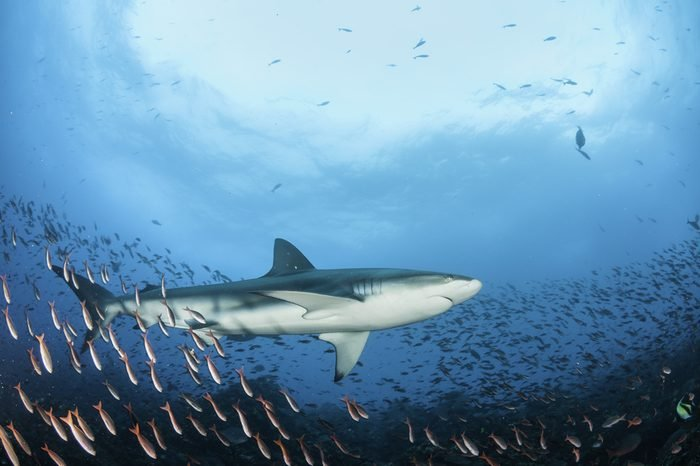 Galapagos shark swimming over a coral reef over a large school of fish, Galapagos Islands, Ecuador.